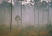 Pine forest on a foggy morning at dawn - Mississippi.