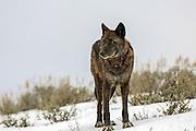 Gray wolf in winter habitat in Yellowstone