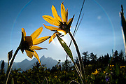 NEWS&GUIDE PHOTO / PRICE CHAMBERS.Balsam Root flowers occlude the sun in this photograph, creating a rainbow-like lens flare around the Tetons on Sunday afternoon.