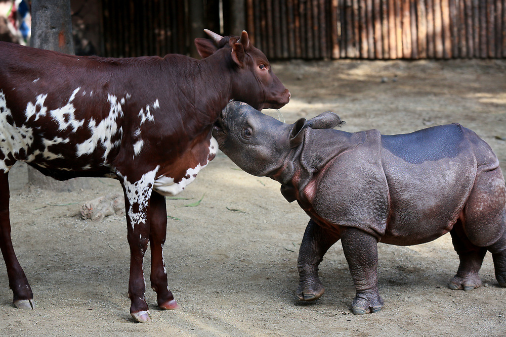 Chuttie, a young Greater 1 Horn Rhino and Moo-Moo Kitty, an Ankole Calf, play in an enclosure at the San Diego Zoo Safari Park in Escondido, California on Tuesday, January 20, 2015.(Photo by Sandy Huffaker for The New York Times)
