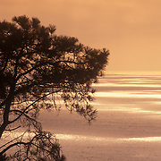 Torrey Pine tree silhouetted against Pacific Ocean sunset, Del Mar, California.