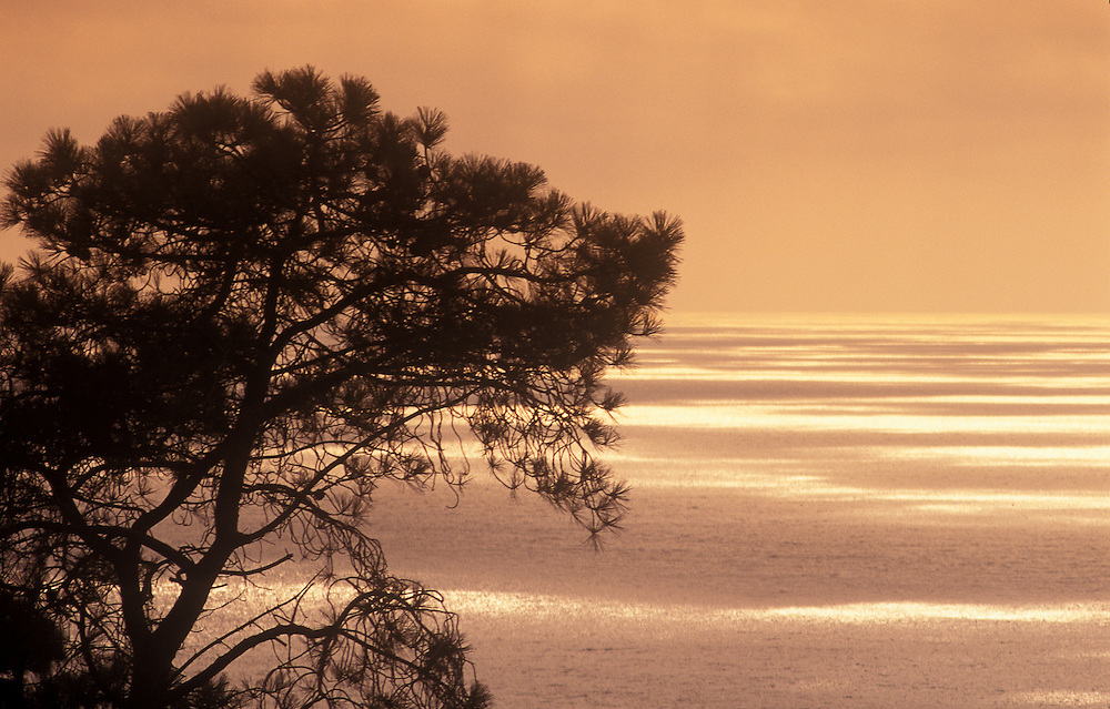 Torrey Pine tree silhouetted against Pacific Ocean sunset, Del Mar, California.