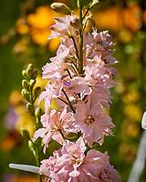 Pink Larkspur. Image taken with a Nikon N1V3 camera and 70-300 mm VR lens