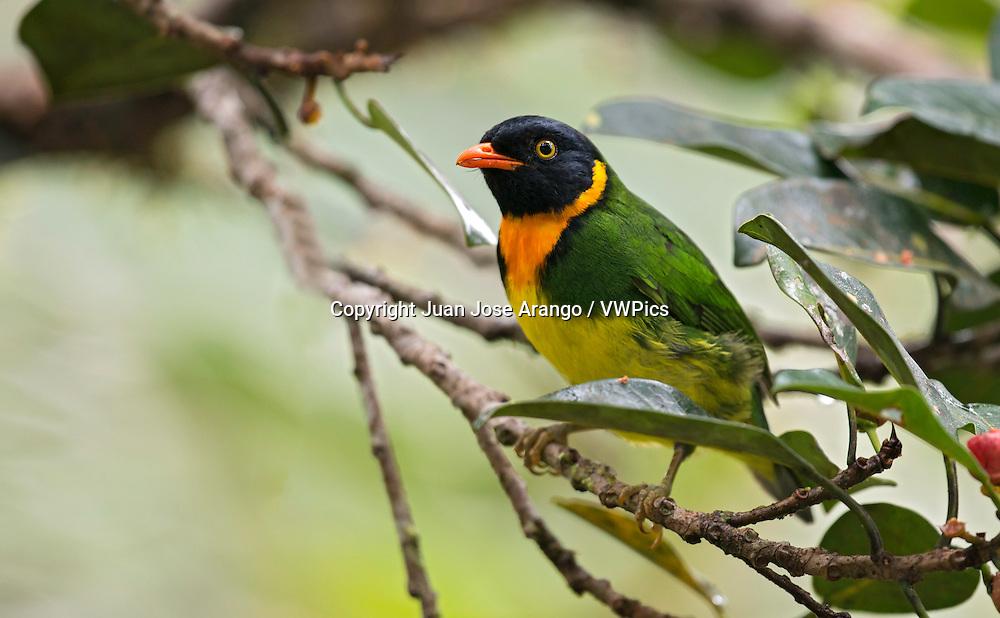 Orange-breasted Fruiteater male (Pipreola jucunda). El Queremal, Valle del Cauca