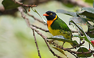 Orange-breasted Fruiteater male (Pipreola jucunda). El Queremal, Valle del Cauca