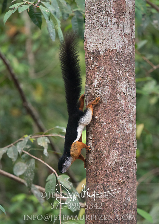 A Prevost squirrel, Callosciurus prevostii eats fruit in a tree in Tanjung Puting National Park, Indonesia.