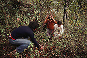 Teenage visitors at the Monarch butterfly reserve scooping up and tossing butterflies up in the air. Rosario, Mexico.