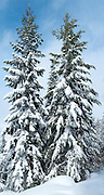 Two snow-covered Douglas Fir (Pseudotsuga menziesii) trees stand tall beside a Mount Tahoma Trails cross country ski trail near Mount Rainier in the Cascade Mountain Range, Washington, USA