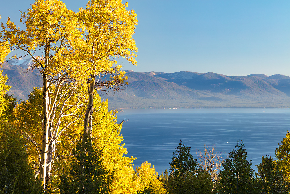 """Aspens Above Lake Tahoe 5"" - These yellow leaved Aspens were photographed above Kings Beach and Lake Tahoe, California."