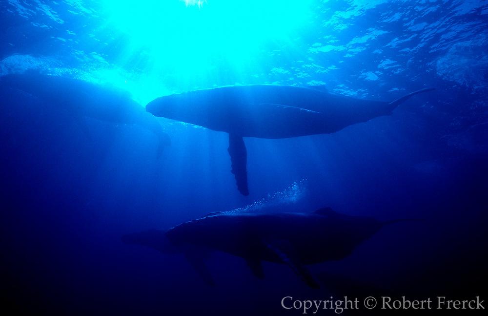 UNDERWATER MARINE LIFE HAWAII, Maui MAMMALS: Humpback whales Megaptera novaengliae