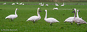 A group of Trumpeter Swans stand at alert in a grazing field to look for danger