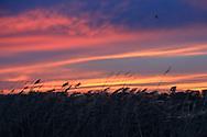 Phragmites marsh grass silhouetted at sunset on Delta Marsh.