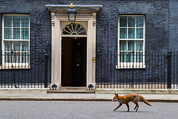 London, January 16 2018. A fox limps past the Prime Minister's office at 10 Downing Street as cabinet ministers meet inside. © Paul Davey