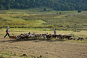 herd of goats with shepherd. Bale Mountains National Park, Ethiopia, Africa