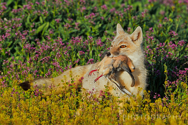 Swift fox with mourning dove in flowers; South Dakota.