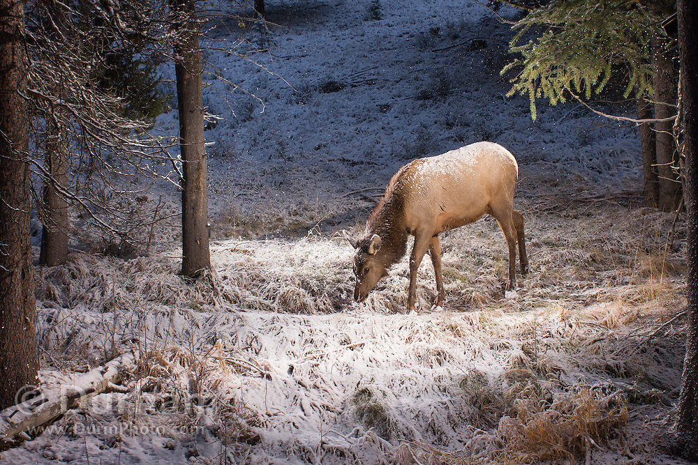 A juvenile elk (Cervus elaphus) at dawn in Big Hole National Battlefield, Montana. Photographed with a trail camera via a premit issued by the National Park Service.