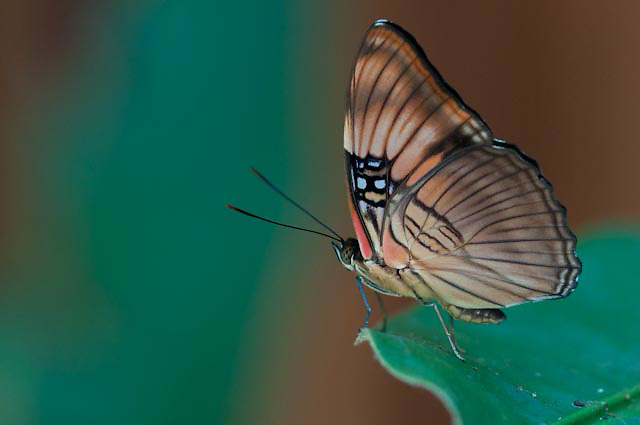 Morpheus Butterfly near the Cristalino Jungle Lodge, Amazon, Brazil