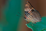 Morpheus Butterfly near the Cristalino Jungle Lodge, Amazon, Brazil