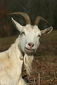 Animals - Sheep & Goats