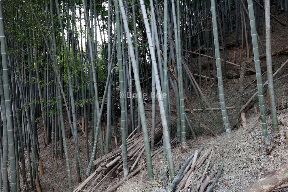 bamboo vegetation Japan