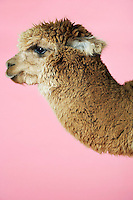 Alpaca on pink background side view of head