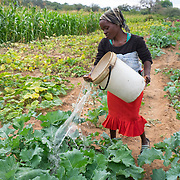 CAPTION: Mary waters vegetables using a bucket. When the Bindagombe Irrigation Scheme is handed over to its beneficiaries, farmers will no longer have to carry water from rivers in order to water their crops. LOCATION: Mawoneke Village, Chivi District, Masvingo Province, Zimbabwe. INDIVIDUAL(S) PHOTOGRAPHED: Mary Homerai.