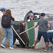 NOAA personnel and volunteers trap a male California sea lion (Zalophus californianus) at Golden Garden beach in Seattle, Washington on Monday, April 19, 2010. The animal was injured and could barely open his eyes before being .captured. (Photo/William Byrne Drumm)