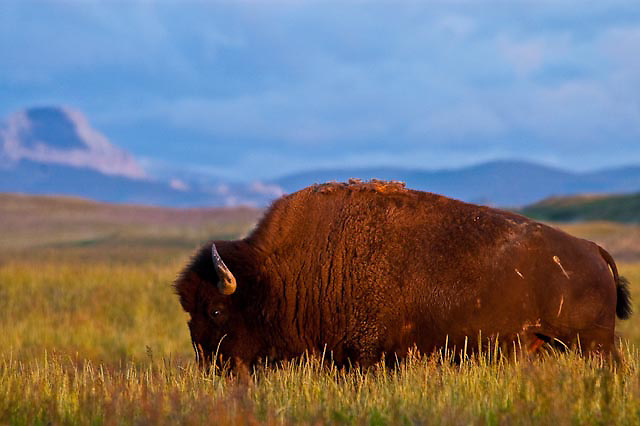 buffalo bison bull in tall grass in the prarie along the rocky mountain front, montana,