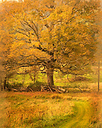 Maple tree in autumn scene