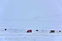 Mongolie, région de Bayan-Ulgii, transhumance d'hiver chez les nomades Kazakhes // Mongolia, Bayan-Ulgii province, winter transhumance of the Kazakh nomads
