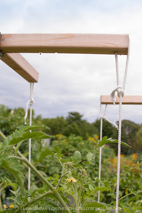 Tomato plants growing on a wood and rope trellis system to support the vines and heavy fruit.