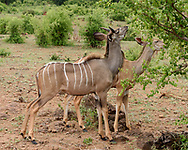 Young male and female greater kudus eating leaves off a tree, Chobe National Park, Botswana, © 2019 David A. Ponton