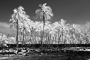 A grove of palm trees on the Big Island of Hawaii in infrared.
