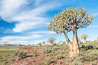 Quiver Trees growing on an hilly slope, Northern Cape, South Africa