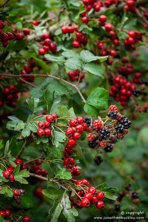 Autumnal hedgerow berries. Rubus fruticosus agg - Blackberries with Crataegus monogyna - Common hawthorn, Maythorn, Motherdie, Quickthorn