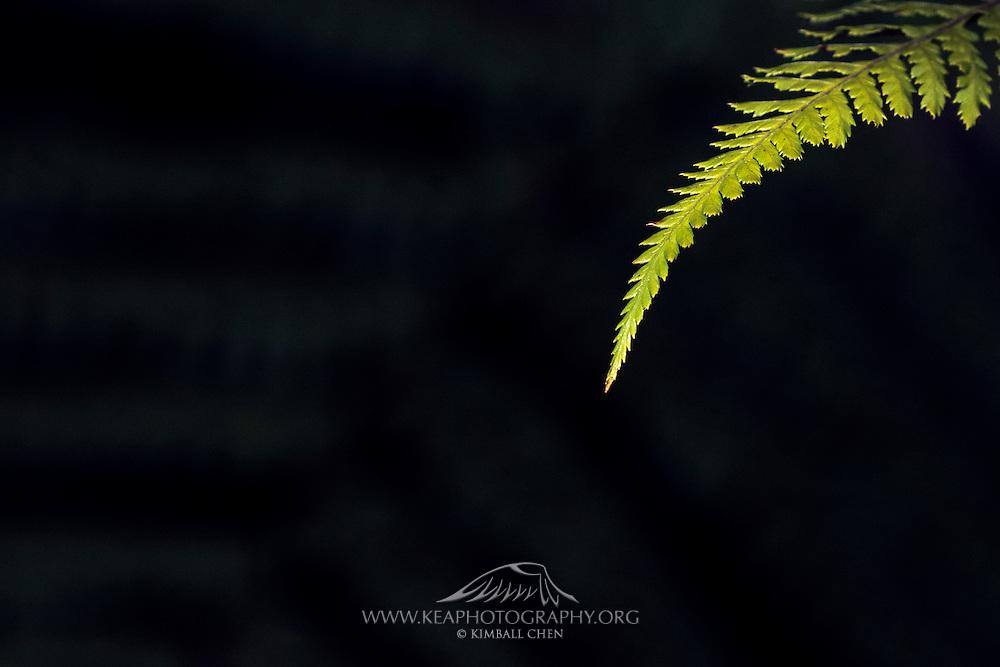 Fern frond, Stewart Island, forest, New Zealand