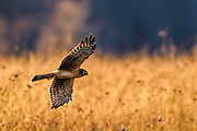 Hen Northern Harrier -Circus cyaneus flying above the field
