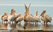 Great White Pelicans, Pelecanus onocrotalus, at Lake Nakuru, Kenya.