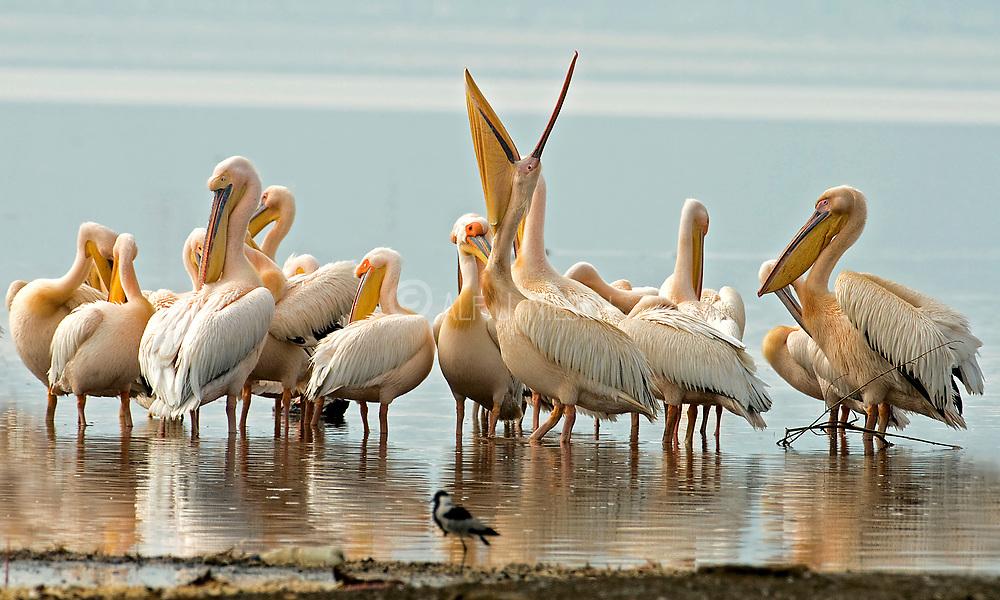 Great White Pelicans, Pelecanus onocrotalys, at Lake Nakuru, Kenya.