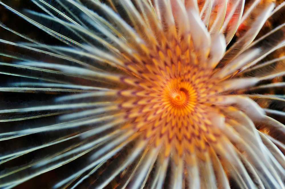 Center of a Sedentaria worms tentacles, Pico, Azores, Portugal