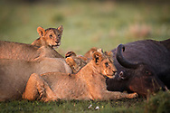 A lion cub portrait with his pride and the killed buffalo with beautiful sunrise light in Masai Mara Reserve, Kenya, Africa<br /> photo credit by:&copy;Claudio Zamagni