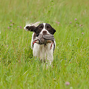 Photography from the Wisconsin English Springer Spaniel Association (WESSA) Working Dog Test and Dog's Day In The Park, June 21, 2014.  The event took place at the Bong Recreation Area in Burlington, WI.  Photography by Melody Carranza.