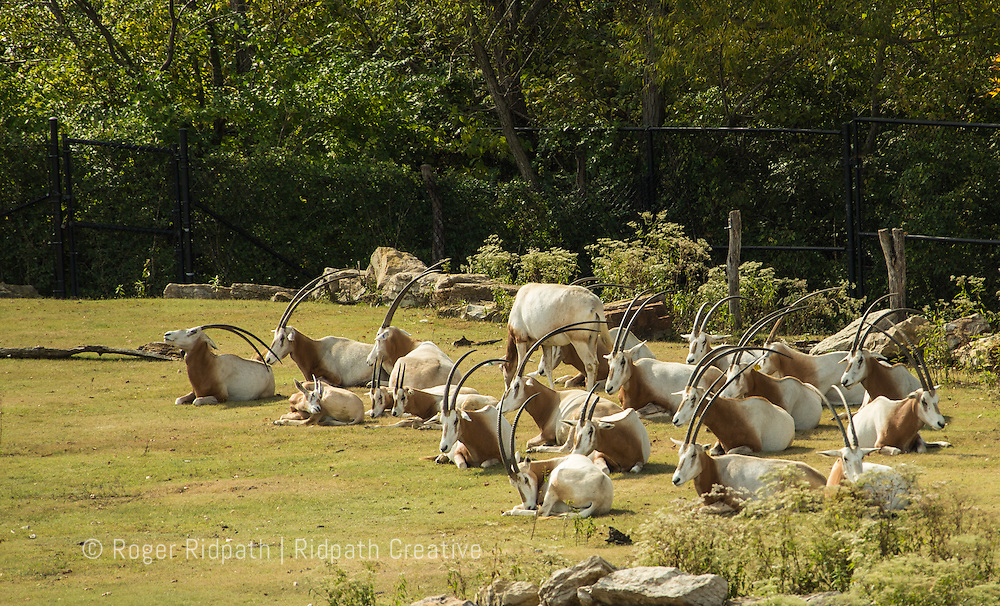 Kansas City Zoo Oryx resting