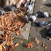 Nederland Rotterdam 6 november 2008 20081106 Foto: David Rozing .Duiven eten brood dat op straat is gegooid in Rotterdam West. Rijst en brood op straat in probleemwijk Oude Noorden. Moslims bijvoorbeeld mogen volgens de Islam geen brood weggooien, in plaats hiervan wordt het daarom vaak aan de vogels gevoerd en blijft het liggen op verschillende plekken in de wijk. ..Foto: David Rozing