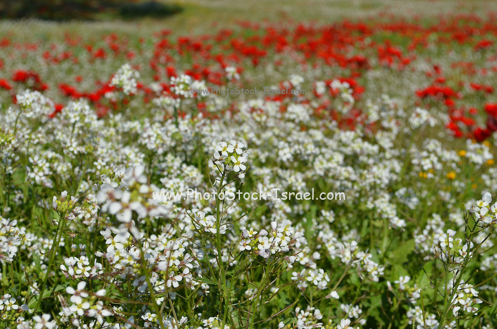 A field of wildflowers. Photographed in Israel in Spring