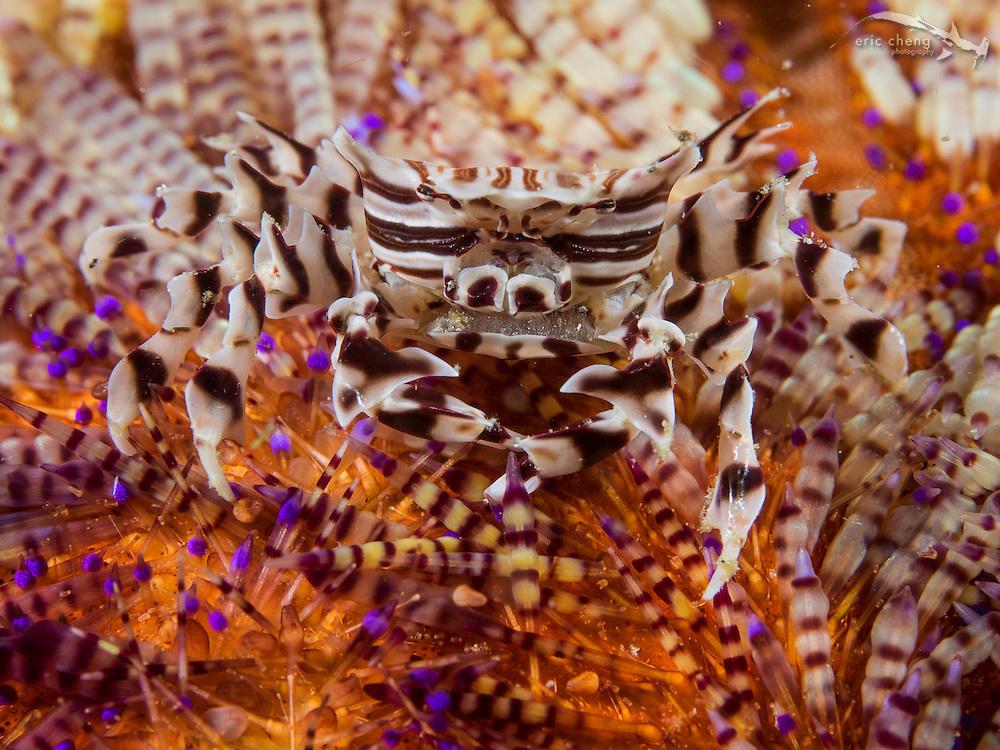 Zebra urchin crab (Zebrida adamsii) on a fire urchin (Asthenosoma varium). Wainilu, Rinca, Komodo National Park, Indonesia.