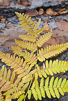 Bracken Ferns in autumn along the Metolious River, Deschutes National Forest Oregon