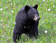 Black Bear - Ursus americanus - adult female