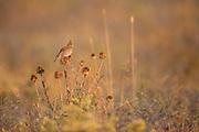Crested Lark (Galerida cristata) Photographed in Israel in June