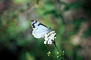 White butterfly rests on small, white flowers- large backround.